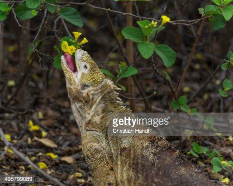 Galapagos Land Iguana -Conolophus subcristatus- feeding on a flower, Isabela Island, Galapagos Islands, Ecuador