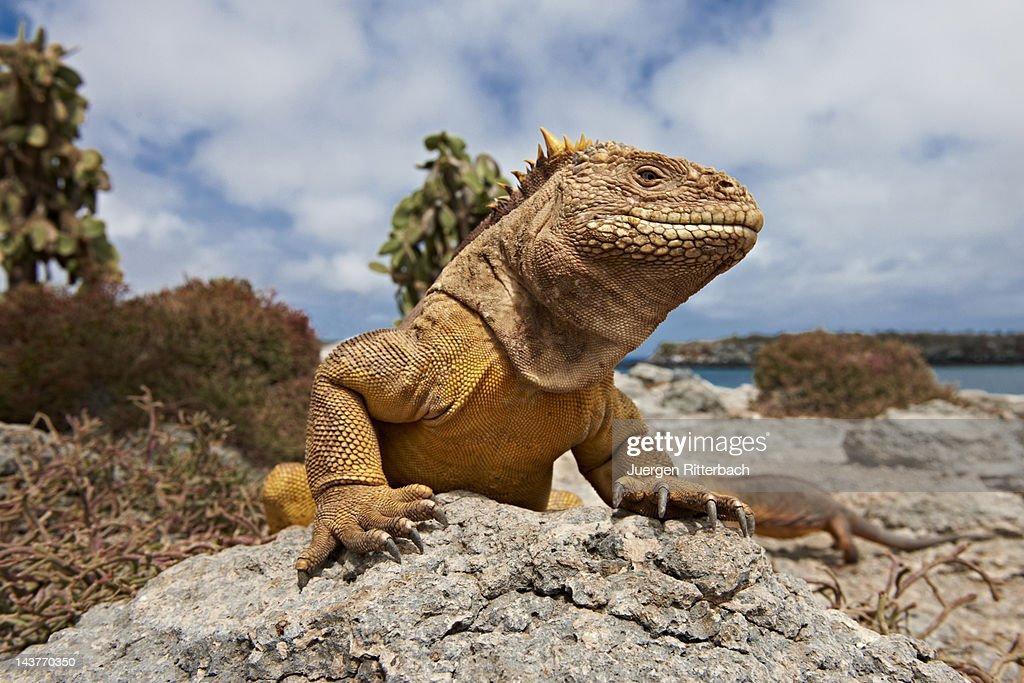 Galapagos Land Iguana, Conolophus subcristatus : Stock Photo