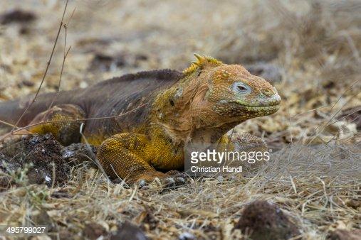 Galapagos Land Iguana -Conolophus subcristatus-, Seymour Norte, Galapagos Islands, Ecuador