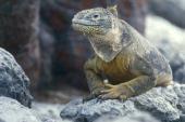 Galapagos Land Iguana Iguanidae Galapagos Islands Ecuador