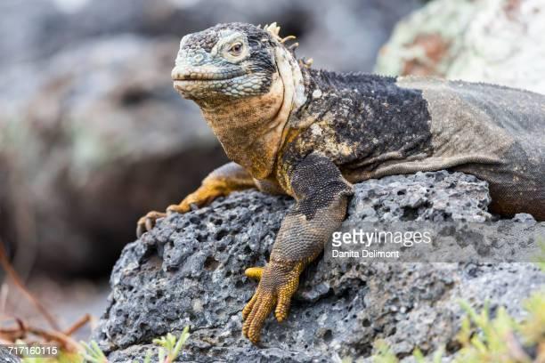 Galapagos land iguana (Conolophus subcristatus) lying down on rock in Plaza Sur, Galapagos Island, Ecuador