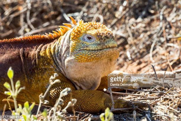 Galapagos land iguana (Conolophus subcristatus) resting on dirt, Cerro Dragon, Santa Cruz, Galapagos Islands, Ecuador