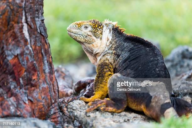 Galapagos land iguana (Conolophus subcristatus) sitting next to rock in Plaza Sur, Galapagos Island, Ecuador