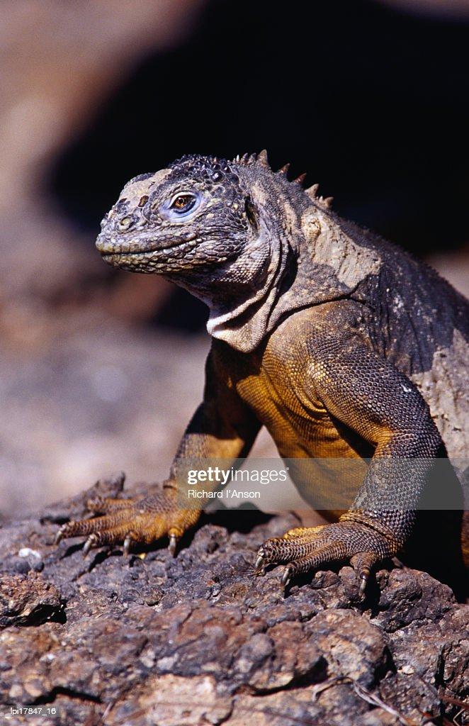 Galapagos land iguana (Conolophus subcristatus), South Plaza Island, Ecuador : Stock Photo