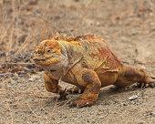 Galapagos: Male Land Iguana (Conolophus subcristatis) in Breedin