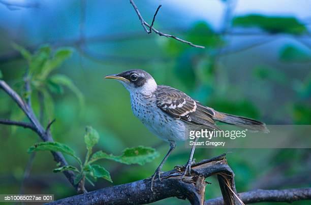 Galapagos mockingbird perched on tree branch