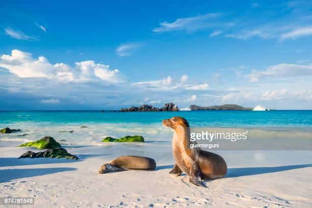 Galapagos-Seelöwe (Zalophus Wollebaeki) auf der Insel Strand Espanola