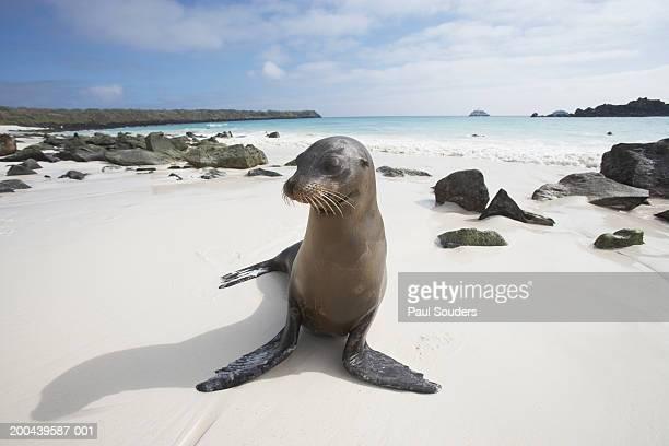 Galapagos Sea Lion (Zalophus californianus) on beach