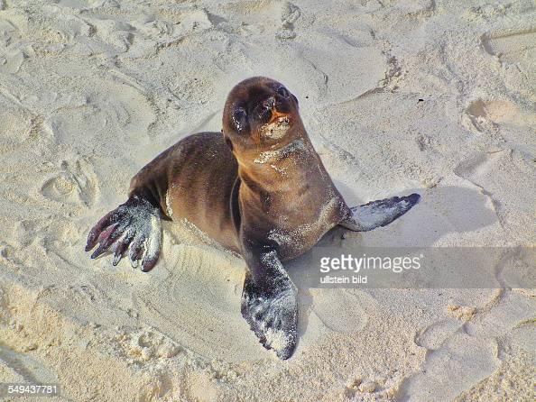 Sea lion pup on the Isla Espanola