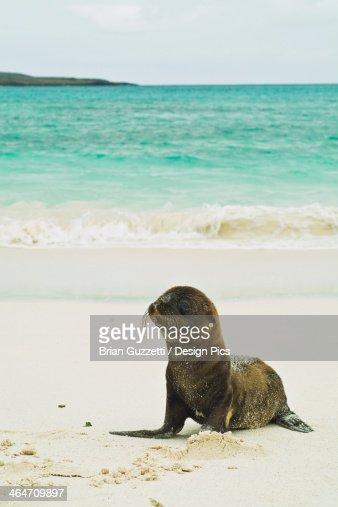 A Galapagos Sea Lion Pup (Zalophus Wollebaeki) Wait On Shore For Its Mother
