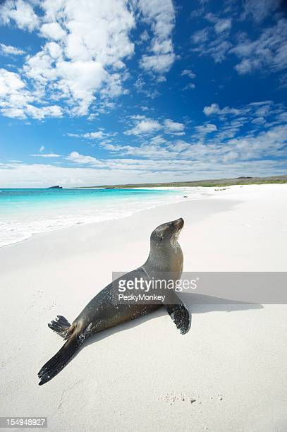 Galapagos Sea Lion Suns Himself on Bright White Beach