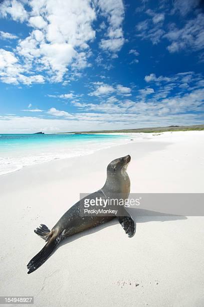 Galapagos Sea Lion Suns sich auf strahlend weißen Strand