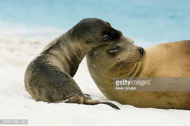 Galapagos sea lion (Zalophus californianus wollebaeki) with pup