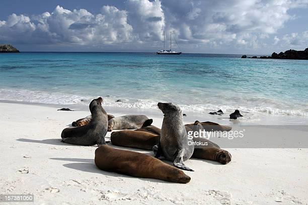 Galapagos Sea Lions ein Sonnenbad am Strand, Galapagos-Inseln, Ecuador