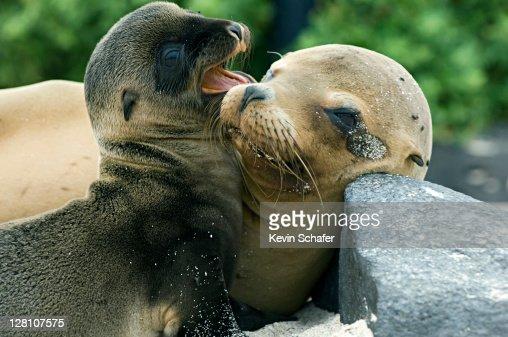 Galapagos Sea Lions, Zalophus wollebaeki. Mother and baby. Hood Island. Galapagos