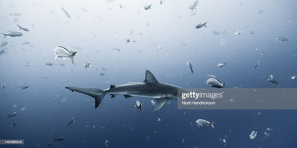 A Galapagos shark swims among fish : Stock Photo
