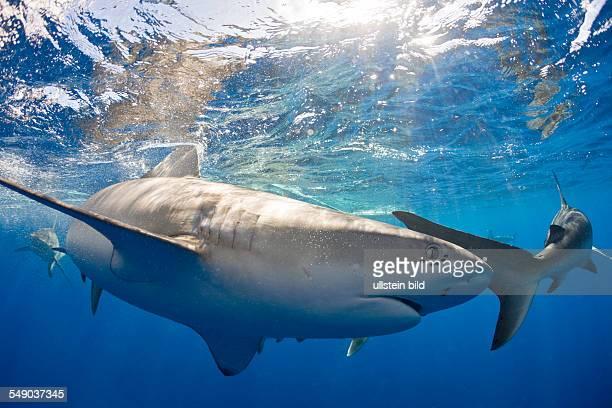 Galapagos Sharks Carcharhinus galapagensis Oahu Pacific Ocean Hawaii USA