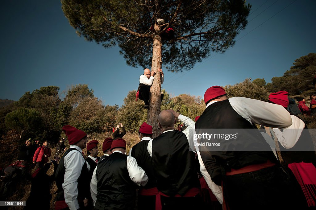 A 'Galejador' climbs the selected pine tree during 'La Festa del Pi' (The Festival of the Pine) in the village of Centelles on December 30, 2012 in Barcelona, Spain. Early in the morning men and women born in Centelles, who are named 'Galejadors' wear their traditional costume with the Catalan red hat known as 'Barretina' and carry their shooting muskets as they walk into the forest to chop down a pine tree, load it on an ox cart and take it to the church in the village. There the pine tree is decorated with five bouquets of apples and wafers and hung inside a church until January 6. The tradition has been documented since 1751 and it is believed its origins are related to the trees and the pagan worship of fertilization related the winter solstice.