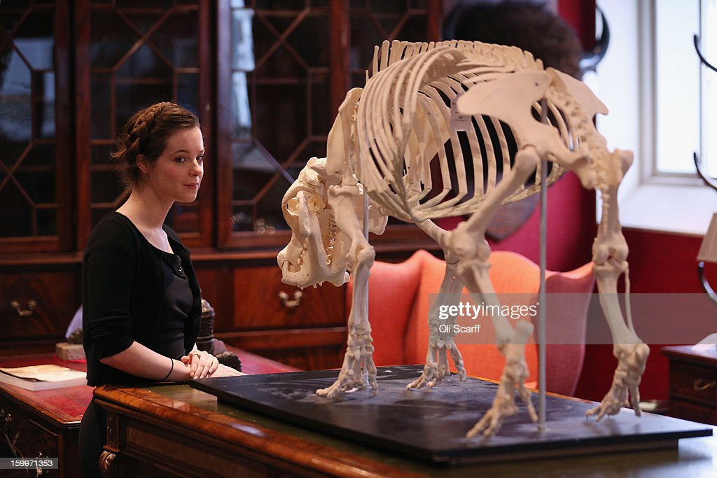 A gallery assistant at Bonhams auction house admires a mounted skeleton of a Pygmy hippopotamus, which is expected to fetch 15,00 GBP in their forthcoming 'Gentleman's Library Sale', on January 24, 2013 in London, England. The auction includes an eclectic mix of rare items such as a cigar that belonged to Winston Churchill and a MI9 spy catalogue. It will take place in Bonhams Knightsbridge on January 29 and 30, 2013.
