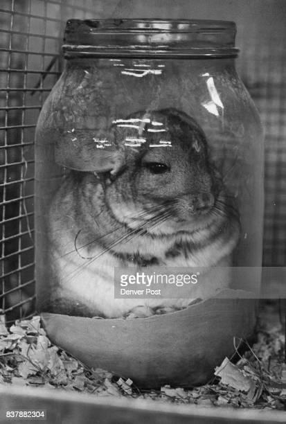Gallon pickle jars provide comfortable accommodations for Clement's hundreds of Chinchillas which sleep by day and run riot during night Volcanic ash...