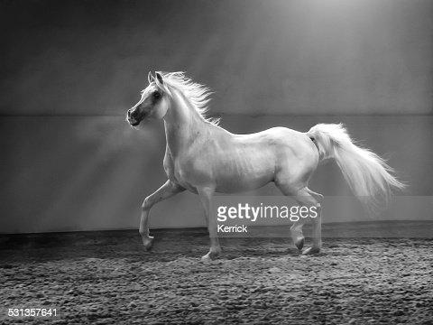 galloping arabian horse - stallion in shining light