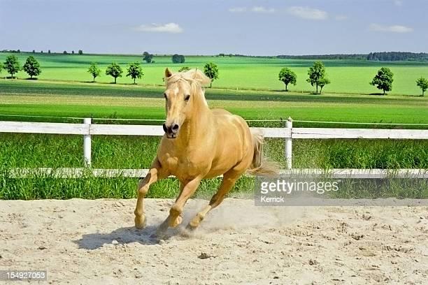 galloping Quarter Horse em Cercado