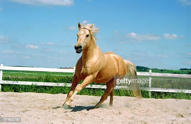 galopando o cavalo de um quarto