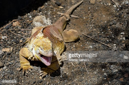 Galpagos land Iguana