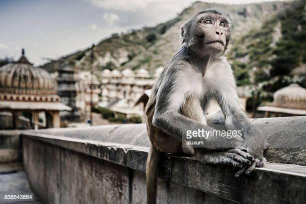 Galtaji, India - September 21, 2015 Monkey at Galtaji