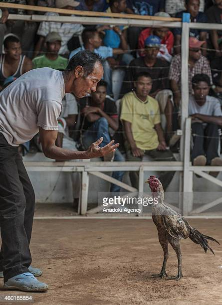 Gamecocks getting ready to fight at a cockpit as their owners and the public make bets in Antananarivo Madagascar on December 06 2014 Cockfight is a...