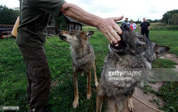 A gamekeeper Oleg Selekh plays with tame wolfs in front of their house in the village of Zacherevye some 250 kms north from Minsk on August 17 2014...