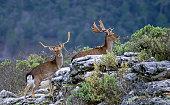 Gamos en la época de celo, en el Parque Natural de Cazorla, Segura y Las Villas.