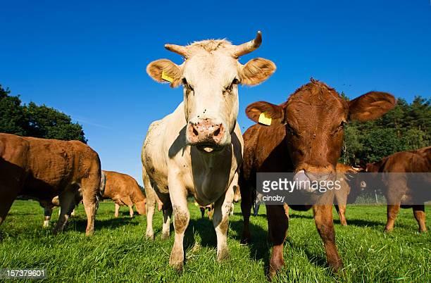 Gang von Cow