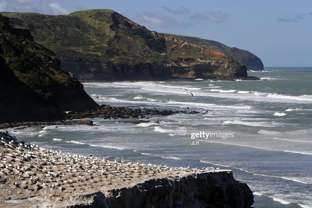 Gannet colony at Muriwai Beach : Stock Photo