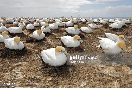 Gannet colony : Stock Photo