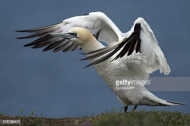 A Gannet nests on Bempton Cliffs near Bridlington Northern England on June 3 2015 Seabirds migrate in large numbers from warmer climates to nest on...