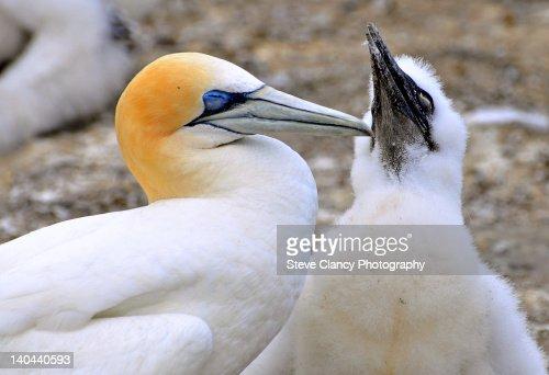 Gannet : Foto de stock