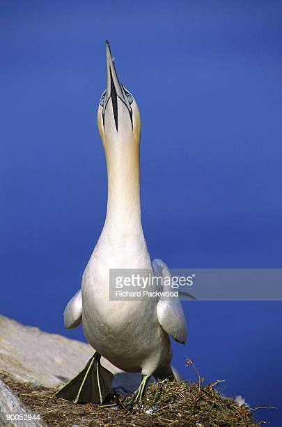 gannet sula bassana sky-pointing before leaving nest. gt,saltee is, ireland