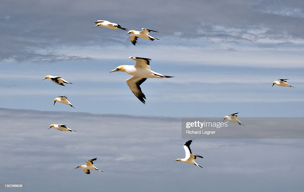 Gannetes in flight : Stock Photo