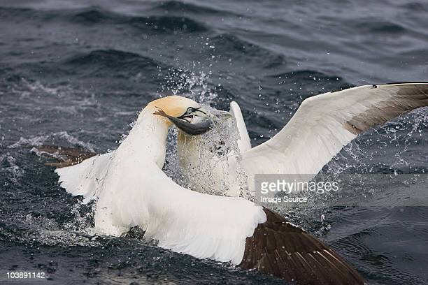 Gannets in feeding frenzy