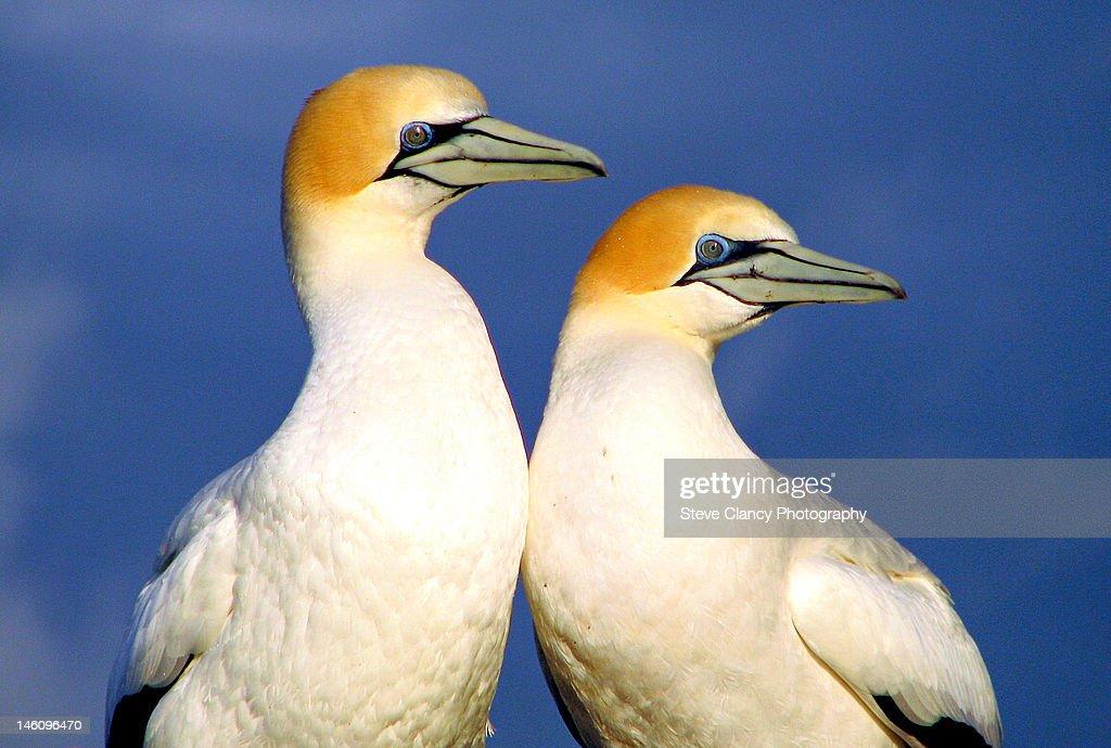 Gannets : Stock Photo