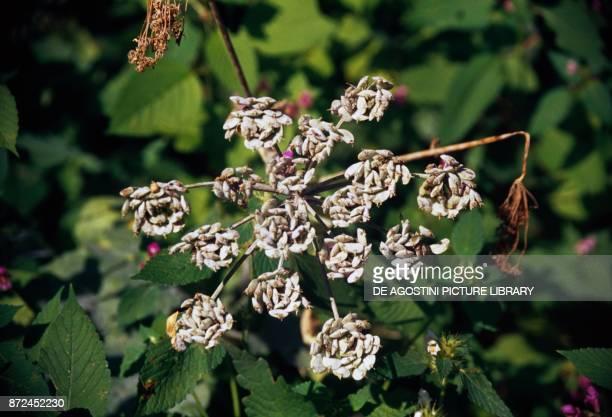 Garden angelica wild celery or Norwegian angelica Apiaceae