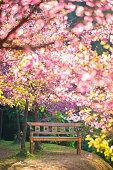 garden bench under the Pink sakura, blur style