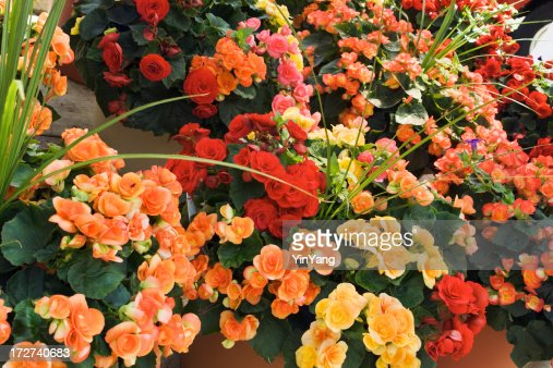 Begonia fotograf as e im genes de stock getty images for Imagenes de jardineria