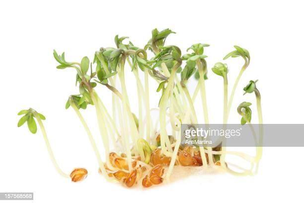 garden cress (lepidium sativum) sprouts isolated on white