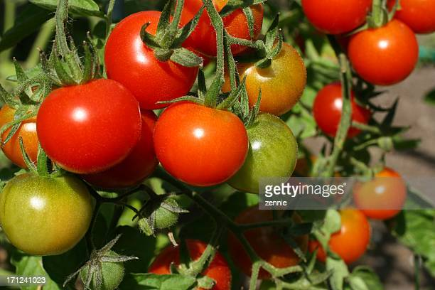 Tomates frescos al jardín
