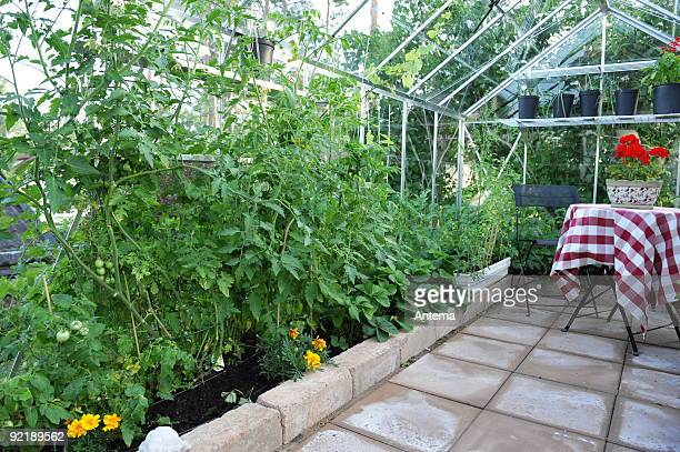 Garden greenhouse with tomato plants.