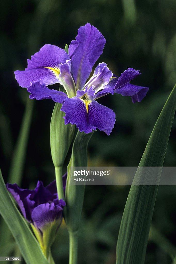 Garden Iris Iris Spp Native To Temperate Regions Of The Northern - Usa northern hemisphere