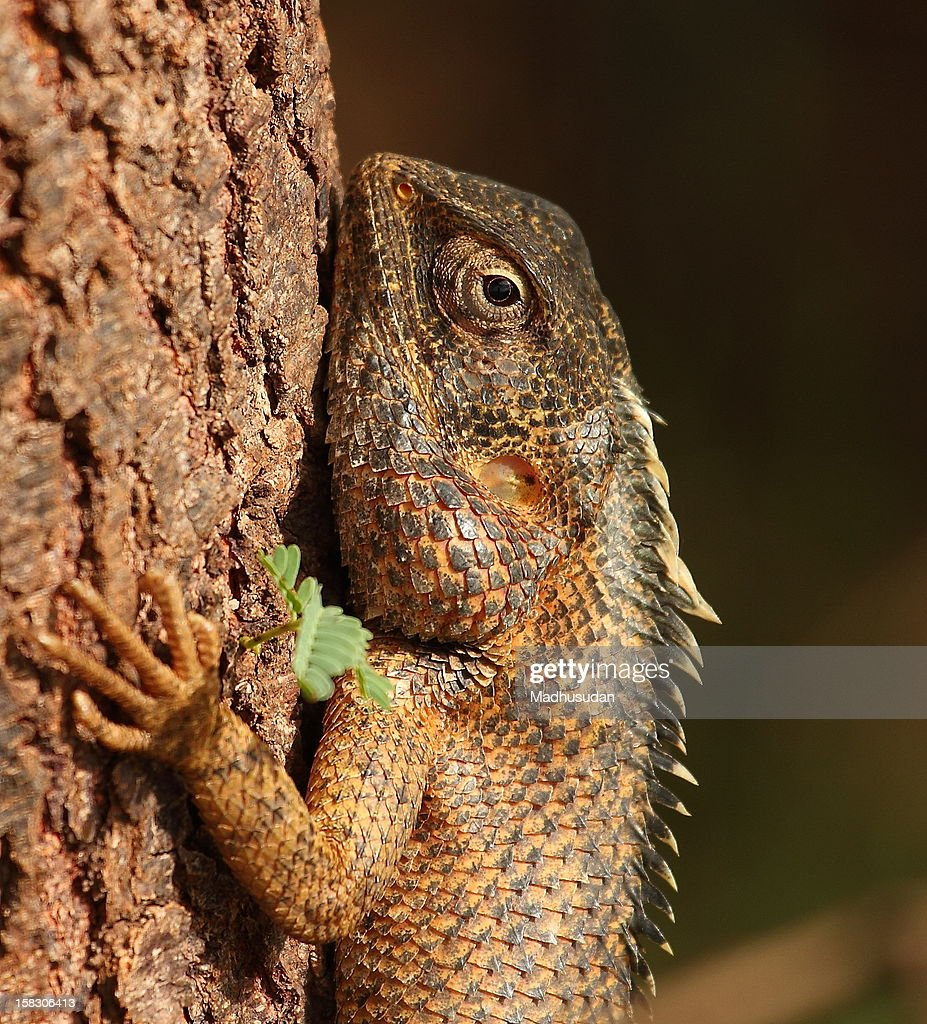 Garden Lizard Stock Photo | Getty Images