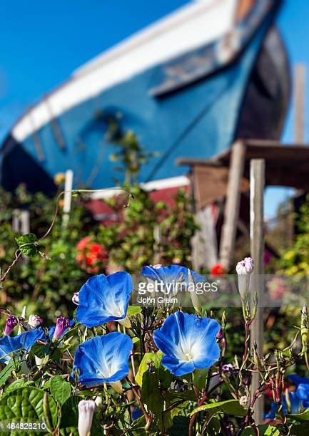 Garden Morning glory with tall boat in the background